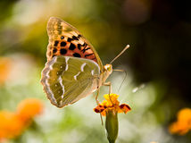 Le monarque de guindineau s'assied sur le nectar de boissons de fleur Photographie stock libre de droits