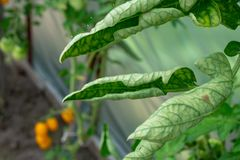 Le monde de l'amant de jardinier Variétés des maladies de tomate photo stock