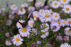 Le monde de papillon est énuméré dans le livre rouge Photo libre de droits