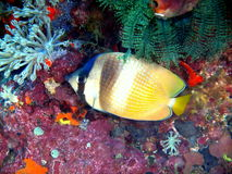 Poissons de corail Images stock