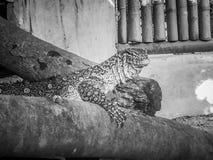 Le moniteur du Nil (niloticus de Varanus), également appelé le s africain Photos libres de droits