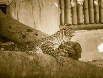Le moniteur du Nil (niloticus de Varanus), également appelé le s africain Image libre de droits