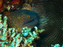 Le Moray jaune-gris de plan rapproché apparaît parmi des coraux dans l'océan tropical naturel Image stock