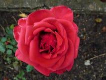 Le morceau d'amour dans une rose de rouge pour la fille Image stock