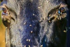 Le mosche strisciano nell'occhio alle mucche nel calore dell'estate fotografia stock