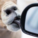Le mouflon d'Amérique lèche la fenêtre de voiture photos libres de droits