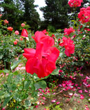 Le Moulin rouge Rose Photo stock