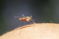 Le moustique embêtant avait mordu dans sa main et boit le sang image libre de droits