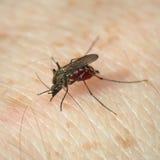 Le moustique a mordu et aspire le sang photo stock