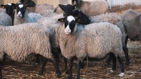 Le mouton aigu reste le troupeau voisin et la laine bouclée de morsures du côté gauche banque de vidéos