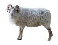Le mouton avec les cheveux épais et les klaxons tordus regarde dans la photo Photographie stock