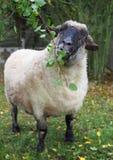 Le mouton bien nourri du Suffolk mange des feuilles Photographie stock