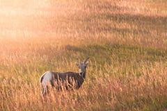 Le mouton de Big Horn se tient dans le deadow Photographie stock