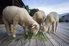 Le mouton de Merino mangeant l'herbe verte part dans l'exploitation d'élevage Photo libre de droits