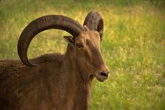 Le mouton de RAM d'Aoudad a de grands klaxons incurvés épais Image libre de droits