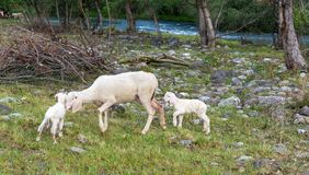Le mouton et les agneaux frôle dans le pré Photographie stock