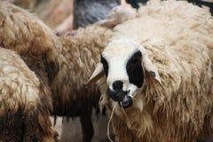 Le mouton mâche des herbes Image stock
