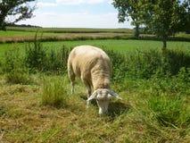 Le mouton mange l'herbe image stock