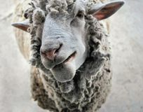 Le mouton regarde l'appareil-photo, les sourires de moutons Photos stock