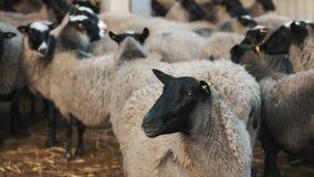 Le mouton reste exact du troupeau et regarde fixement le caméscope banque de vidéos
