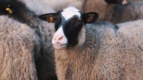 Le mouton reste sur le ranch et tourne lentement sa tête au côté droit banque de vidéos