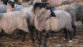 Le mouton reste le troupeau proche et la laine bouclée de morsures du côté gauche banque de vidéos