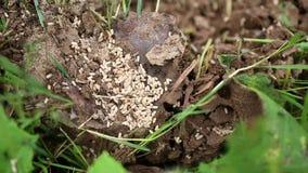 Le mouvement des fourmis dans une fourmili?re banque de vidéos