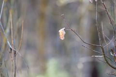 Le mouvement lent a tir? de la neige l?g?re tombant dehors L'arbre nu avec la seule feuille jaune sont partis et les baisses de l photos libres de droits