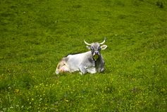 Le mucche alpine più belle Fotografia Stock