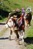 Le mucche austriache con un copricapo durante il bestiame guidano nel Tirolo, Austria Fotografie Stock Libere da Diritti