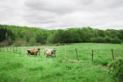 Le mucche autentiche stanno pascendo in un prato nella campagna Fotografia Stock Libera da Diritti