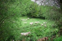 Le mucche autentiche stanno pascendo in un prato nella campagna Fotografie Stock