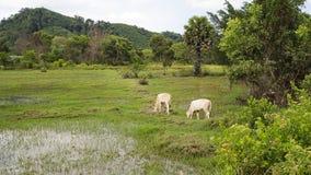 Le mucche bianche stanno pascendo su un campo di verde del riso vicino alla foresta, Tailandia Fotografia Stock Libera da Diritti
