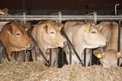 Le mucche caricano una scuderia Fotografia Stock