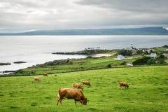 Le mucche che pascono a Shrove fotografia stock libera da diritti