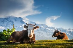 Le mucche che riposano sulle colline alpine in sole irradia Fotografie Stock