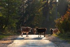 Le mucche ci incontra Immagine Stock Libera da Diritti