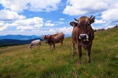 Le mucche con colore piacevole stanno pascendo sul prato inglese alle alte montagne Immagini Stock