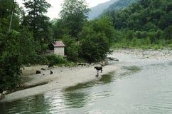 Le mucche con i pastori pascono sulle banche di un fiume della montagna fotografia stock