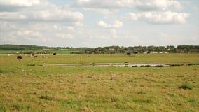 Le mucche con i vitelli pascono nel prato in un fondo della foresta e del cielo blu video d archivio
