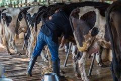 Le mucche con un uomo sta mungendo in un'azienda lattiera fotografia stock libera da diritti