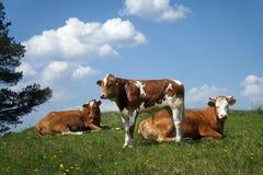 Le mucche con un vitello pascono fotografia stock