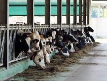 Le mucche da latte dell'allevamento in bestiame si bloccano, mucca che le teste sono dalle recinzioni da mangiare fotografie stock