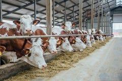 Le mucche da latte dell'allevamento di Monbeliard nel bestiame libero si bloccano Fotografia Stock Libera da Diritti