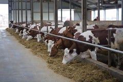 Le mucche da latte dell'allevamento di Monbeliard nel bestiame libero si bloccano Immagine Stock Libera da Diritti