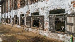 Le mucche da latte ingabbiate tramite gli otturatori rustici della finestra in una mucca dilapidata hanno sparso nella regione ru Immagine Stock Libera da Diritti