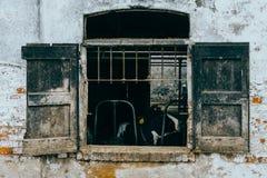 Le mucche da latte ingabbiate tramite gli otturatori rustici della finestra in una mucca dilapidata hanno sparso nella regione ru Immagini Stock Libere da Diritti