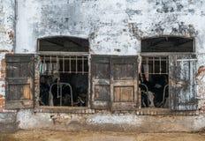 Le mucche da latte ingabbiate tramite gli otturatori rustici della finestra in una mucca dilapidata hanno sparso nella regione ru Fotografia Stock Libera da Diritti