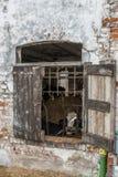 Le mucche da latte ingabbiate tramite gli otturatori rustici della finestra in una mucca dilapidata hanno sparso nella regione ru Immagine Stock