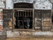 Le mucche da latte ingabbiate tramite gli otturatori rustici della finestra in una mucca dilapidata hanno sparso nella regione ru Fotografia Stock